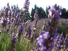 アロマセラピーQ&A ラベンダーの花